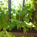 Rosicrucian Park: Grape Arbor